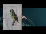 Мой папугай перепел Риану