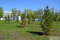 09 мая 2013 - Сибирские кедры в Тольятти спустя 4 месяца после посадки