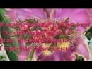жасмин и роза