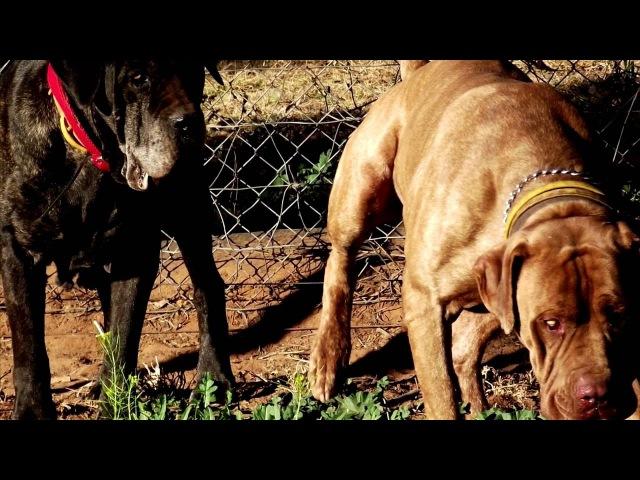 Порода собак. Австралийский бандог. Верный друг и охранник человека