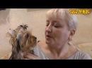 Как поставить уши щенку йоркширского терьера расскажет и покажет Светлана Пискун