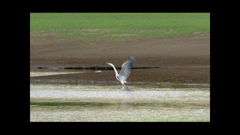 Серая цапля | grey Heron | Ardea cinerea