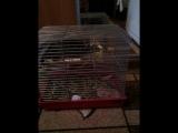 попугай против шиншиллы