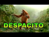 Despacito - luis fonsi ft Daddy yankee , Gorilla Dance on despacito , remix cover minions
