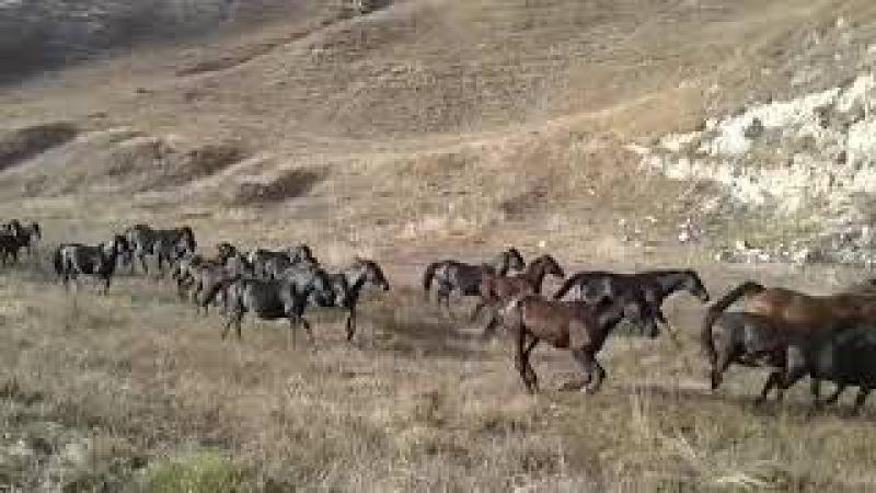 Табун кабардинских лошадей Яганова Ибрагима