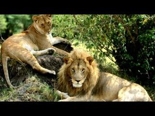 The Asiatic lion.king of beasts, king of animals.Азиатский лев.Царь зверей.