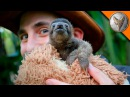 ОЧЕНЬ МИЛЫЙ детеныш ленивца.Самое дружелюбное животное.Brave Wilderness на русском