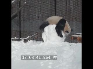 Забавная панда играет со снеговиком.