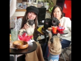 Японское кафе с мопсами ..