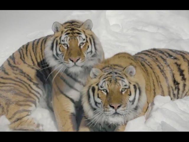 Квадрокоптер Дрон снимает уссурийских тигров Амурский тигр
