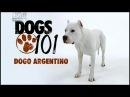 Порода собак Аргентинский дог