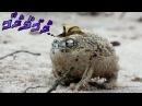 Angry squeaking frog Joseph Joestar
