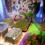 Проращивание семян. Успех во многих сыроедческих начинаниях критически зависит от умения проращивать зёрна, семечки и орехи.