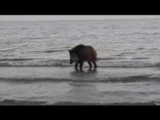 Дикий кабан на пляже Левого берега в Мариуполе