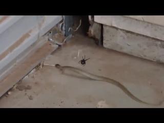 Паук поймал змею