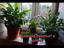 Спатифиллум. Полная информация о цветке женское счастье спатифиллуме