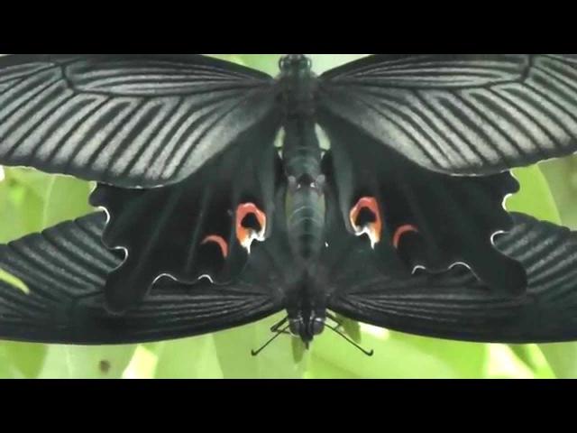 Papillon paon (Papilio bianor), Chine