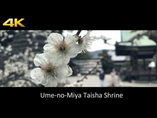 [4K] 梅宮大社・梅 - iPhone 7 plus OSMO MOBILE [4K] Ume-no-Miya Taisha Shrine