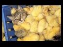 Цып цып цып мои цыплятки. Детская песня про цыплят.