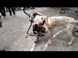 Собачьи бои 18+ Аргентинский дог против Немецкого дога