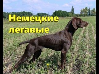 Немецкие легавые собаки