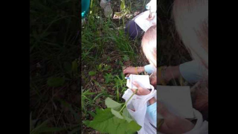 в лес с травницей грушанка