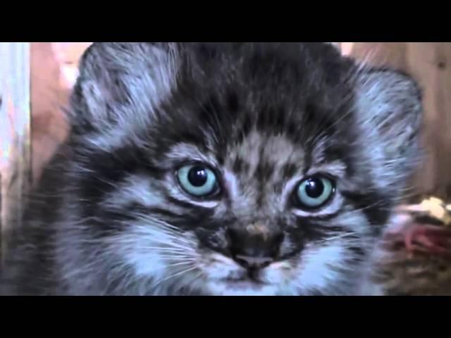 Котята манула! Pallas kittens