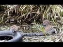 Водяные крысы на охоте Water rat hunting