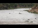Полусонный нильский крокодил подбрасывает зебру