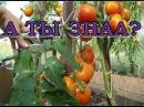 Как правильно обрезать томаты в июле августе