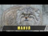 Манул - дикий степной кот