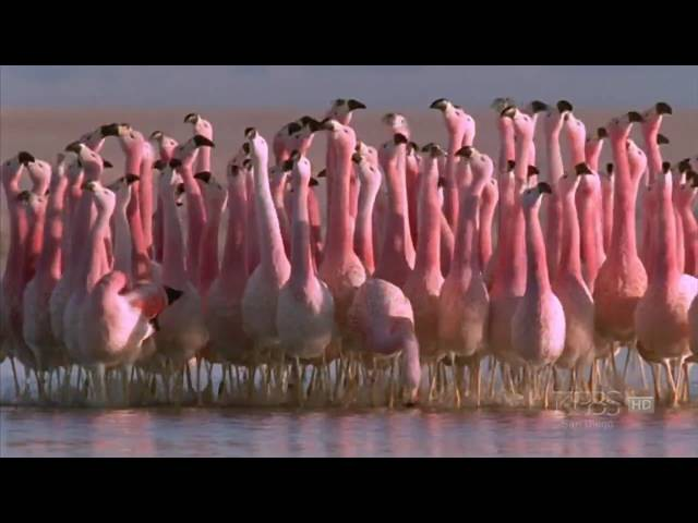 (Hilarious) Andean flamingo mating dance | NATURE | Andes: The Dragon's Back