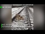 Самый верный друг_ пёс два дня ложился под поезд, охраняя раненную на рельсах собаку