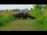 Аллигатор, который выглядит как динозавр