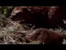 Животный Мир-Бобры