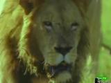 BBC : Мир природы. Львы