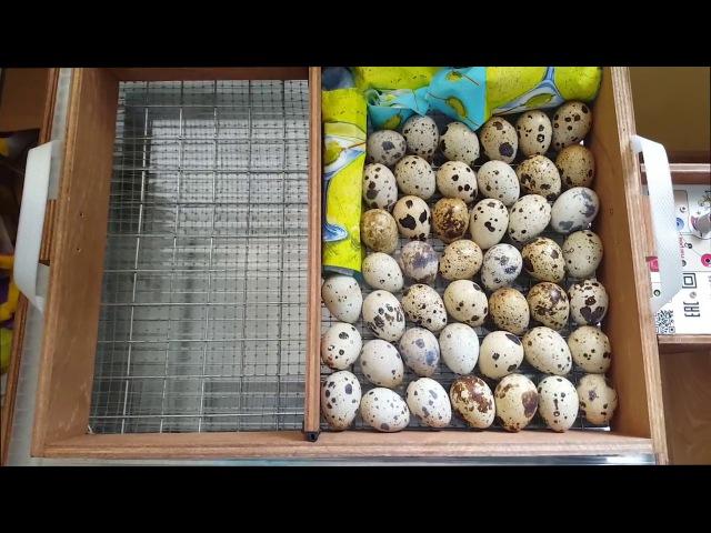 Закладываем яйца на инкубацию вместе! Подробно и пошагово.