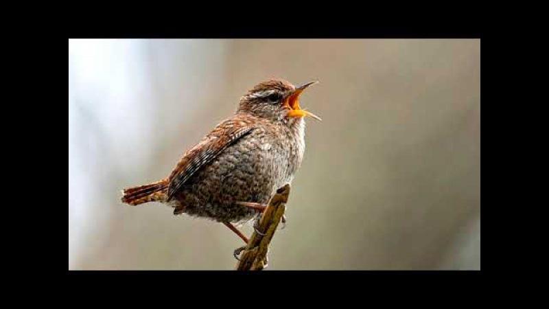 Расслабляющая музыка Пение птиц