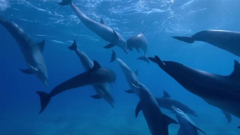 Дельфины Шпион в стае Фильм 1