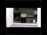 Whenever I'm trying to be positive and have a relaxing day #relatable #RedPanda #lmao #messitup #coub