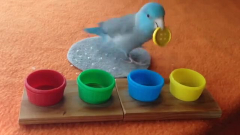 Charlie the Parrotlet Sorts Colored Buttons » Freewka.com - Смотреть онлайн в хорощем качестве