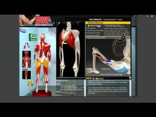 Большая ягодичная мышца. Анатомия. Биомеханика.