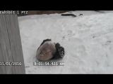 Неуклюжая панда устроила снежную битву со своей пустой миской