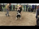 собачьи бои Тобетов Алабай Казахстан -...N 1 part 480p