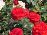 Прекрасные розы...   Музыка Евгения Дога