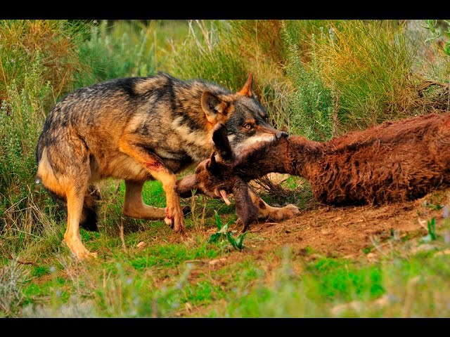 Documental Rusia Tierra de animales salvajes Documentales National Geographic