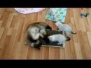 Тайский кот Оскар пришёл к котятам в гости и забалдел от запаха мяты на когтеточ