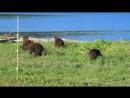 Медведица с медвежатами на кордоне Озерной