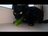 Кот Атом ест огурец и издает необычные звуки_Cat Atom eat cucumbers and roar