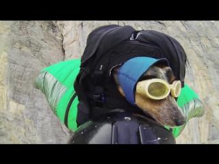 Прыжок собаки с парашютом